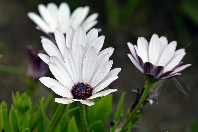 daisy-56438_640
